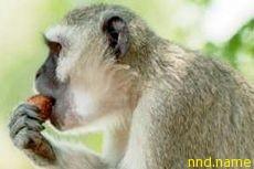 Японские ученые научили ходить парализованную обезьяну