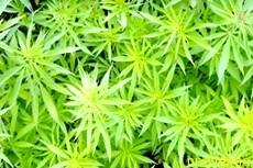 Марихуана - наркотик или лекарственное средство?