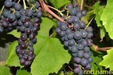 Лекарственное средство - сушеные плоды винограда