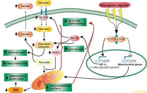 Манипуляция белком активирует работу генов в ответ на повреждение мышечной ткани и тем самым способствует ее регенерации