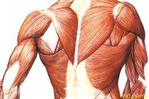 Управление белком STAT3 способ регенерации мышц