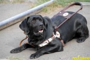 Увеличена компенсация на содержание собак-проводников