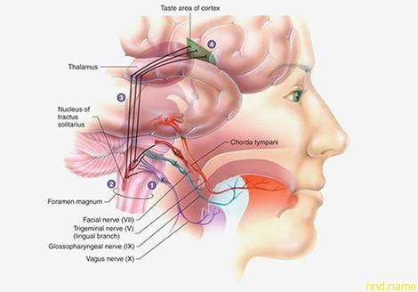 Ворота в мозг