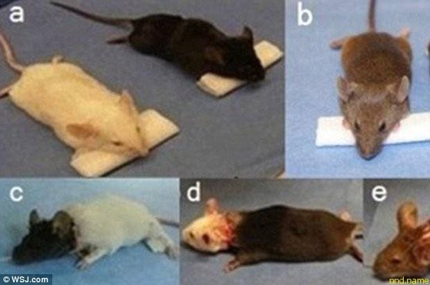 Хирург Сяопин Рен пересадил головы тысяче мышей