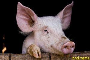 Пересадка сердца ГМО-свиньи