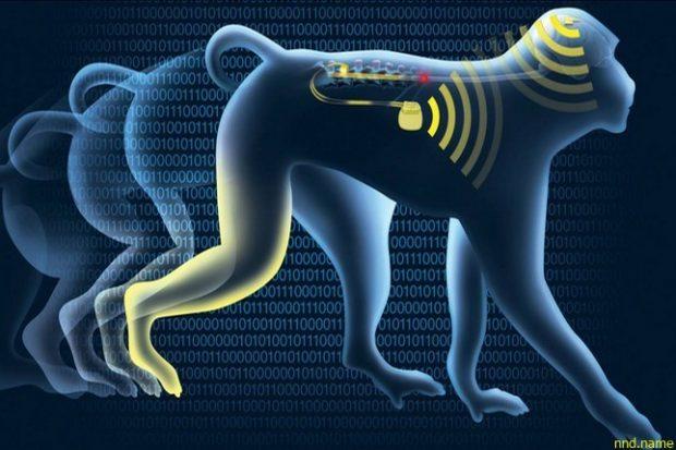 Мозговой имплант вернул подвижность парализованным обезьянам