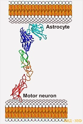 Синтез белка EphA4