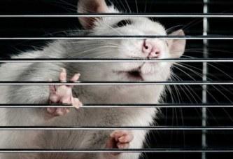 Стволовые клетки восстановили парализованных крыс