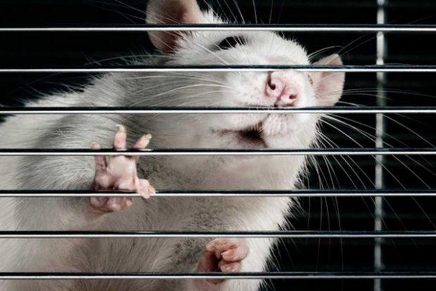 Стволовые клетки вернули парализованным крысам способность ходить