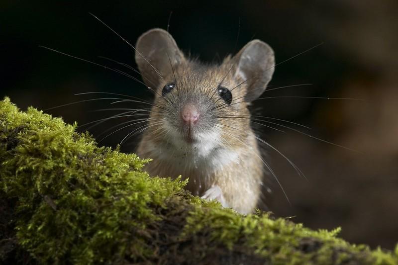 CRISPR-технологии повлияли на наследвенность у мышей