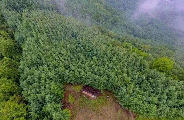 Тянь Юнпин 32 года высаживал деревья