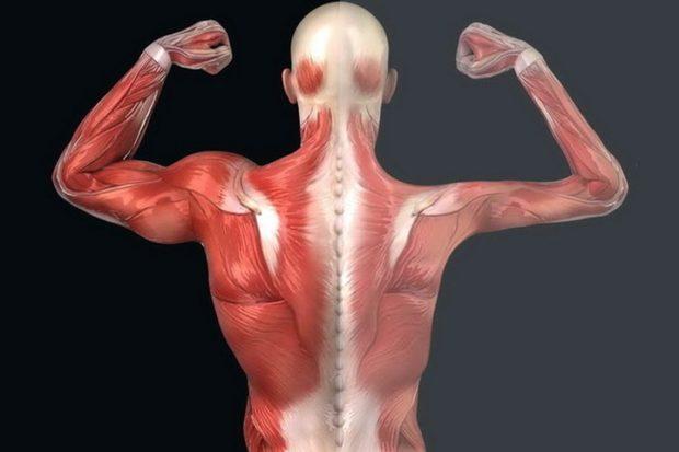 Генная терапия помогла безопасно сохранить функцию мышц при миодистрофии Дюшенна у животных