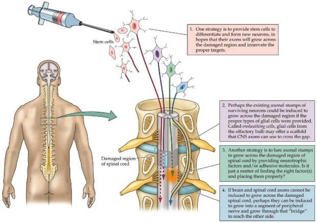 Технология клеточной трансплантации